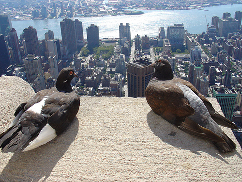 pigeons in NYC